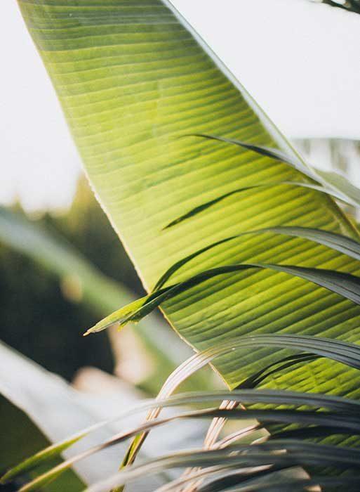 close-view-of-banana-leaf-2072575-web-2